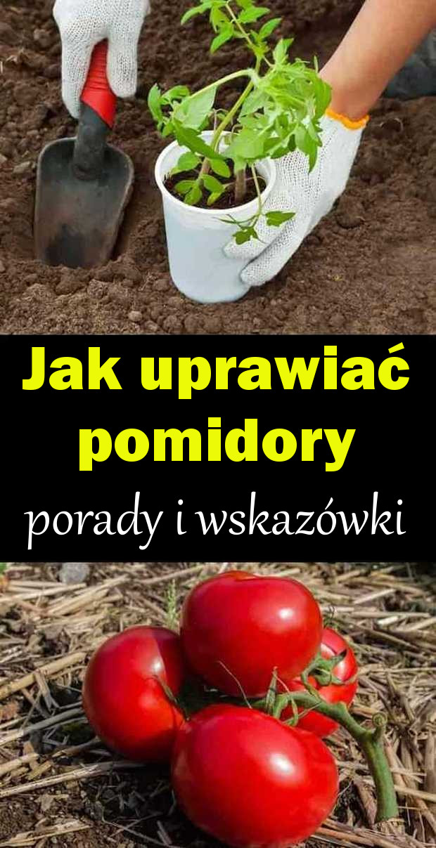 pomidory pin