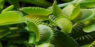 roślin mięsożernych